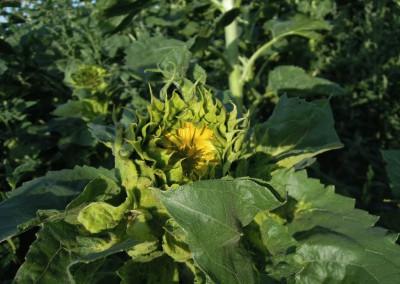 Sonnenblumen28