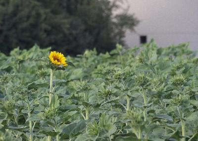 Sonnenblumen30