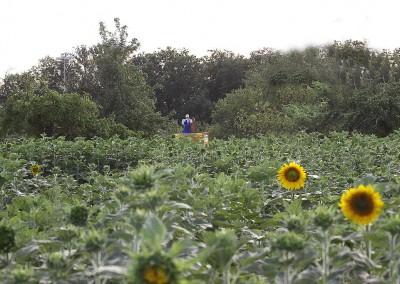 Sonnenblumen31
