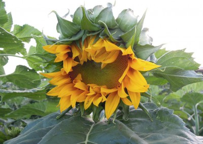 Sonnenblumen32