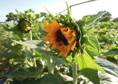 Sonnenblumen33