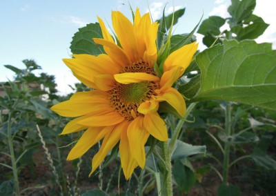 Sonnenblumen35