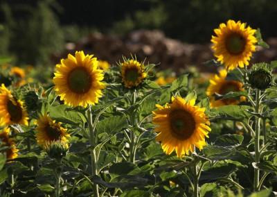 Sonnenblumen38