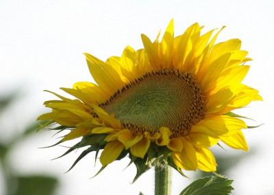 Sonnenblumen39