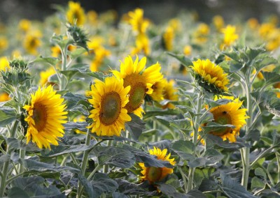 Sonnenblumen41