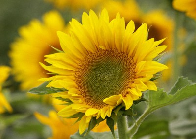 Sonnenblumen37