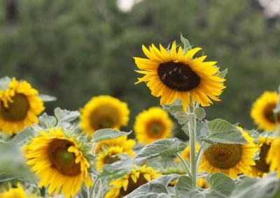 Sonnenblumen38a