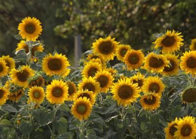 Sonnenblumen38b