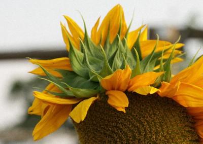 Sonnenblumen47