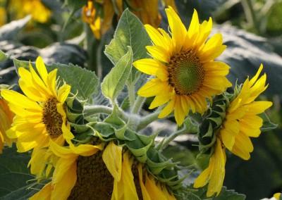 Sonnenblumen48
