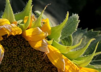 Sonnenblumen49