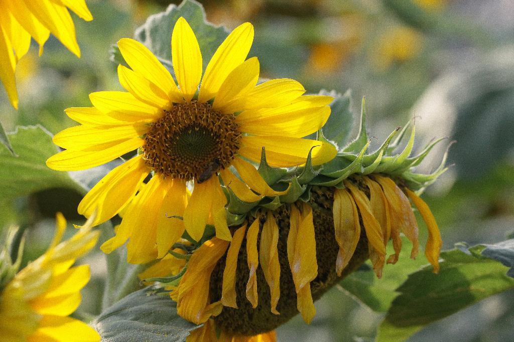 Die Sonnenblumen wachsen!