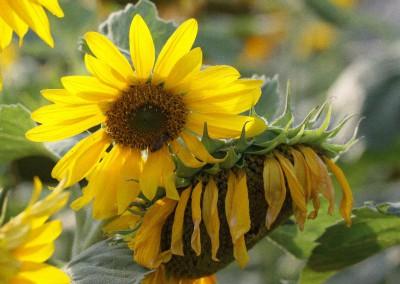 Sonnenblumen51