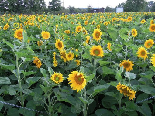 Die Sonnenblumen 2017 – vom Kern zur Blüte !